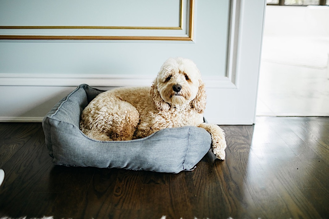 A fluffy tan dog lays in a blue dog bed on the floor.