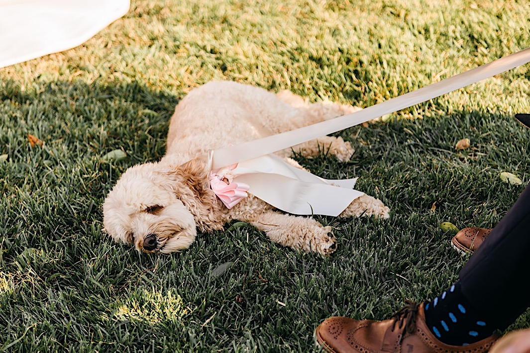 A fluffy dog wearing a pink bow sleeps in the grass at a big backyard wedding.